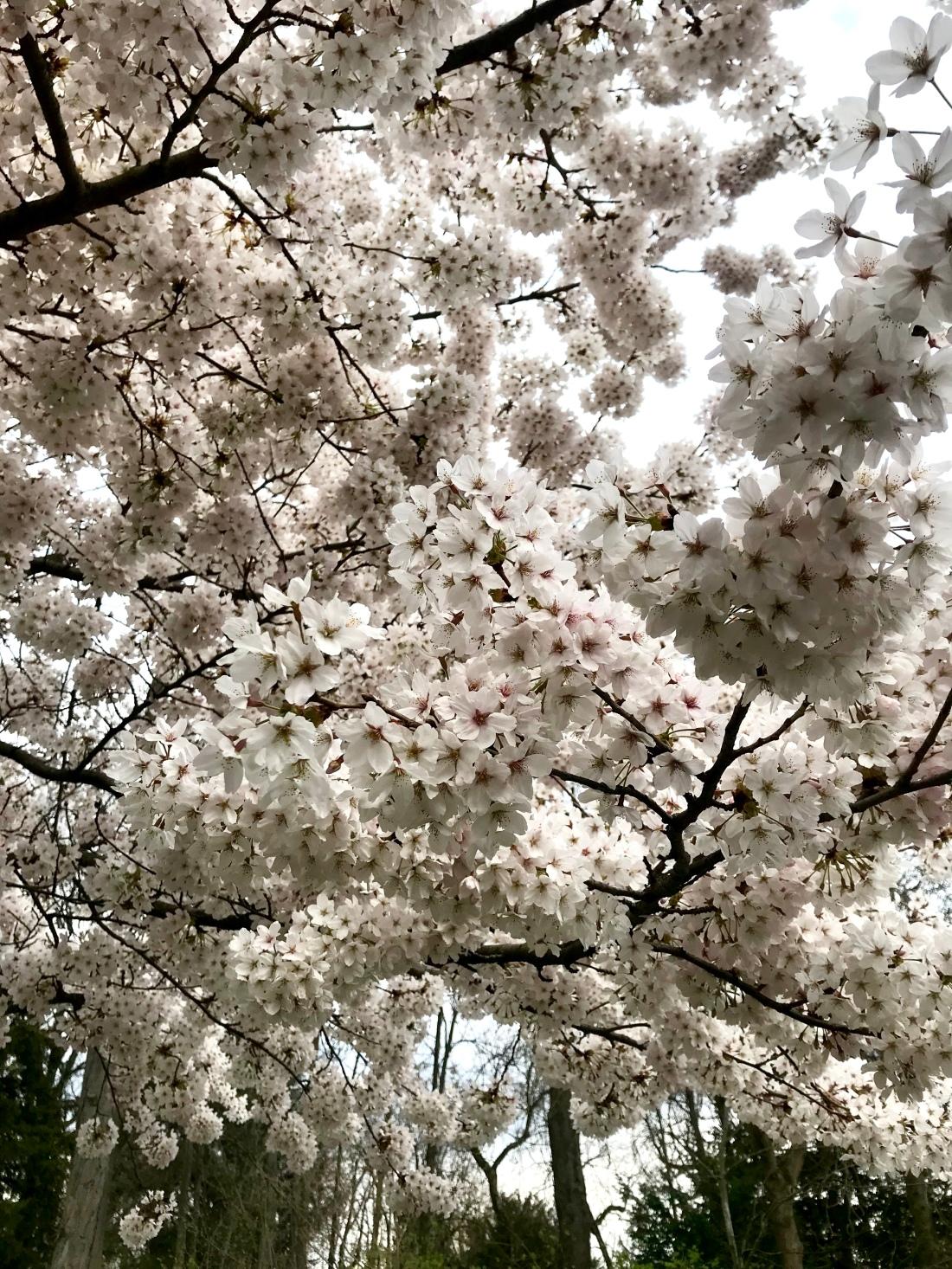 Cherry Blossom - Printemps