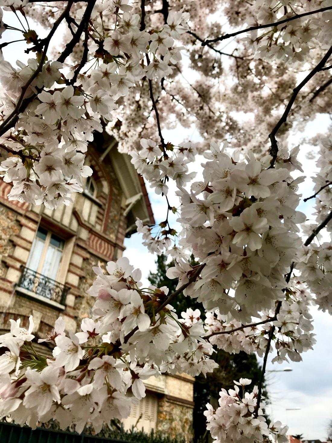 Cherry Blossom - Printemps 2